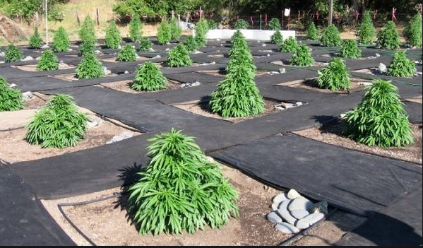 Discover Tips On The Best Way To Go About Landing The Best Cannabis Seed Online Here