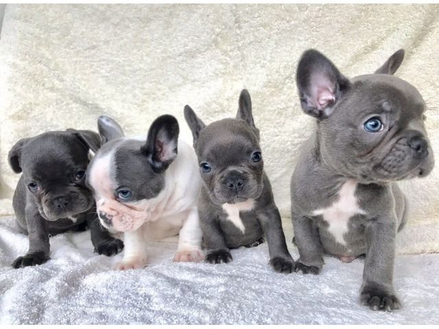 These Tips Will Help You In Making The Best Out Of French Bulldog