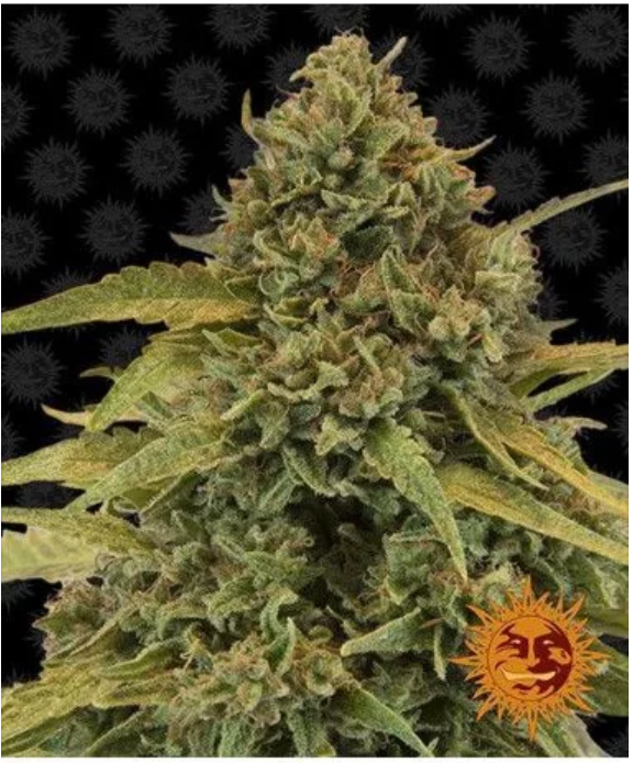 The Vast Features Provided In The CannabisProduction By Royal Queen Seeds For Decades!